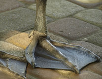 Feet of a swan Stock Photos