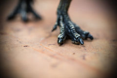 Feet of tyrannosaurus Stock Images