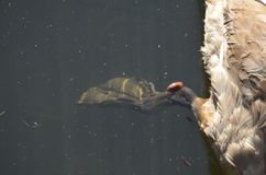 Feet with webbing of a water bird in detail, young grey swan in water stock photo