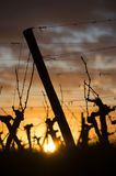 Feet Wineyard at sunset Royalty Free Stock Images