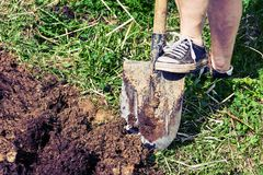 Feet of a woman wearing old sneakers excavate a soil. In the garden royalty free stock images