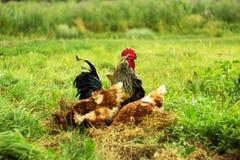 feg rooster Fotografering för Bildbyråer