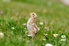 fega quail Arkivbilder