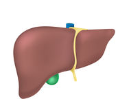 fegato illustrazione vettoriale