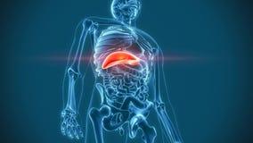 Fegato di dolore degli organi illustrazione di stock