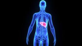 Fegato umano illustrazione di stock