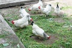 Fegt gå för vit på den fega coopen på våren Jordbruk ornithology Hönsgård arkivfoto