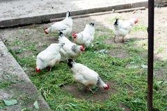 Fegt gå för vit på den fega coopen på våren Jordbruk ornithology Hönsgård royaltyfria bilder