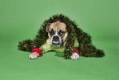 Feiertags-Bulldogge Lizenzfreie Stockfotografie