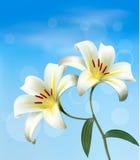 Feiertagshintergrund mit zwei Lilien. Lizenzfreie Stockfotografie