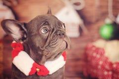 Feiertagsprofil der französischen Bulldogge Stockfotografie