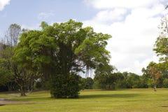 Feigebaum in einem Park Stockbild