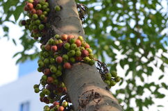 Feigen auf Baum Lizenzfreie Stockbilder