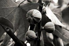 Feigen, die auf einem Baum in Schwarzweiss wachsen stockbilder