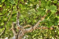 Feigenbaum in der Vegetation Stockfotos