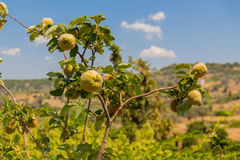 Feigenbaum in Griechenland Stockbild