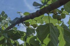 Feigenbaum mit reifen Früchten und Grünblättern Lizenzfreies Stockfoto