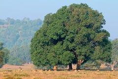 Feigenbaum und beschmutzte Rotwild Stockbilder