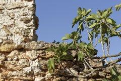 Feigenbaumniederlassungsfront von einem alten legen Steine in den Weg Stockbild