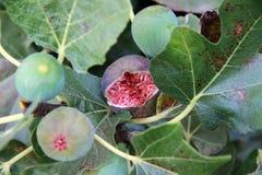Feigenfrüchte auf einem Baum Lizenzfreies Stockbild