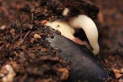 Feijão da planta verde no broto à terra que cresce a germinação da natureza maravilhosa do verão da primavera da semente isolada  imagens de stock royalty free