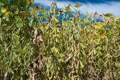 Feijão da soja Fotografia de Stock