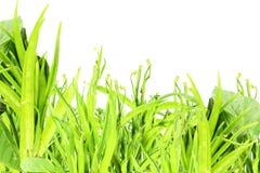 Feijão de conjunto ou guar sido vegetal indiano no fundo branco foto de stock royalty free