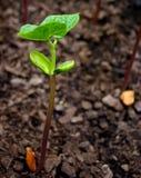 Feijão de escalada Sprouting Fotos de Stock