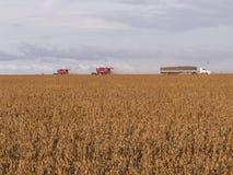 Feijão de soja da colheita Fotografia de Stock