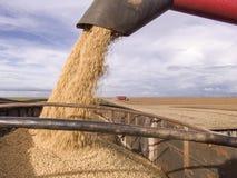 Feijão de soja da colheita Imagens de Stock Royalty Free