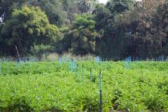 Feijão que cultiva, pulverização da soja da água, jardinando no tempo de mola Foto de Stock Royalty Free