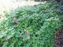 feijão que planta a produção de guatemala da colheita imagem de stock royalty free