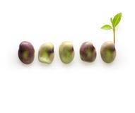Feijão-roxo com crescimento verde do broto imagem de stock