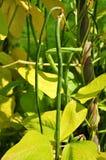 Feijão vegetal Fotos de Stock