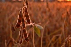 Feijões da soja Imagens de Stock
