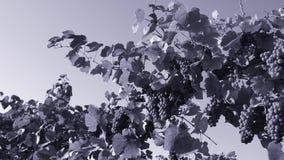 Feijões da uva, opinião do close-up vídeos de arquivo