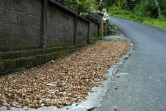 Feijões de cacau que secam no lado da estrada Fotos de Stock Royalty Free
