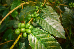 Feijões de café crescentes Fotos de Stock