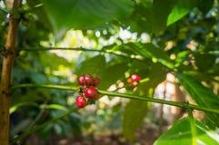 Feijões de café crescentes vermelhos Fotos de Stock