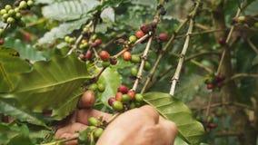 Feijões de café da colheita filme
