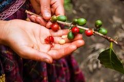 Feijões de café de amadurecimento na planta Fotografia de Stock