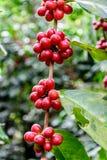 Feijões de café de amadurecimento no arbusto Fotografia de Stock