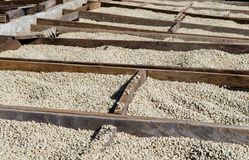 Feijões de café de secagem Imagem de Stock