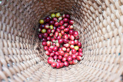 Feijões de café frescos Imagens de Stock