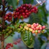 Feijões de café maduros Imagens de Stock Royalty Free