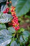 Feijões de café maduros Imagem de Stock Royalty Free