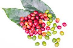 Feijões de café maduros vermelhos Foto de Stock Royalty Free