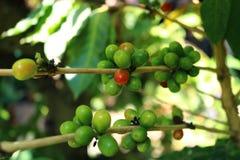 Feijões de café na árvore Fotos de Stock Royalty Free
