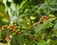 Feijões de café na árvore Foto de Stock