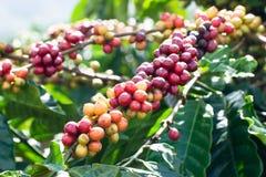 Feijões de café na árvore imagem de stock royalty free